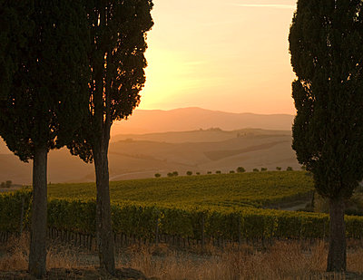 Cypress trees and grapevines at sunset, Tuscany, Italy - p429m803046f by WALTER ZERLA