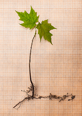 Small maple tree on checked paper. - p971m1138059 by Reilika Landen