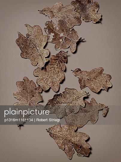 Herbstblätter von einem Eichenbaum, Herbst, Blätter, Natur - p1316m1161134 von Robert Striegl