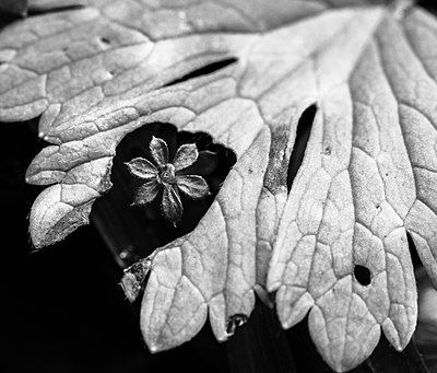 New flower seen through a hole in an old leaf - p1682m2260762 by Régine Heintz