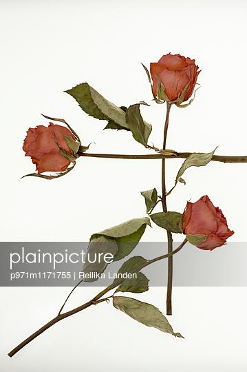 Three dried roses - p971m1171755 by Reilika Landen