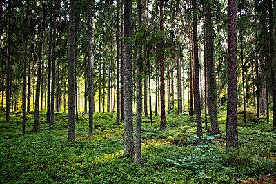 Nadelwald  - p1270m1108382 von Elisabeth Toll
