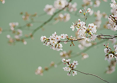 Close up delicate pink cherry blossoms on branch - p301m2101267 by Halfdark