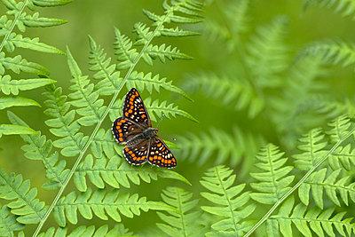 Scarce fritillary butterfly on a fern - p1251m1072496 by Heikki Tabell