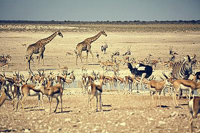 Springbok - p1305m1132827 by Hammerbacher