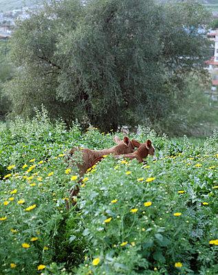 Kälber in einer Blumenwiese - p436m1445478 von R. Petersen