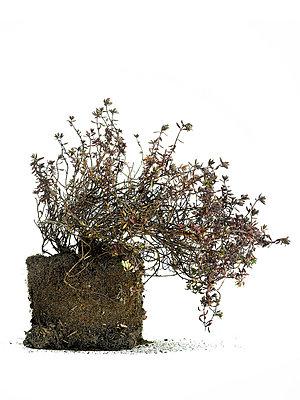 Dead thyme plant - p56710133 by daniel belet