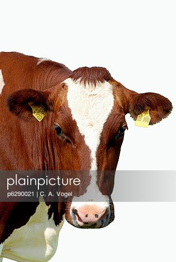 Kuh Portrait  - p6290021 von C. A. Vogel