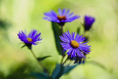 High angle view of New England aster growing in park - p1166m2065936 by Cavan Social