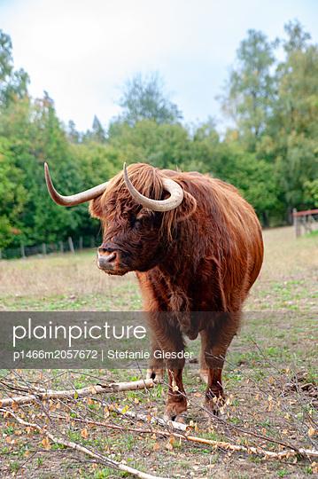 Longhorn - p1466m2057672 von Stefanie Giesder