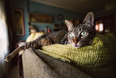 Tabby cat relaxing on couch - p300m1166387 by Ramon Espelt