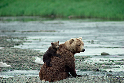 Grizzly Bear mother with cub on her back sitting on river bank - p8840120 by Michio Hoshino