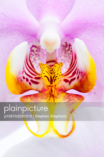 The close up detail of an Orchid flower showing the mottled petals in pink and yellow. - p1057m2291519 by Stephen Shepherd