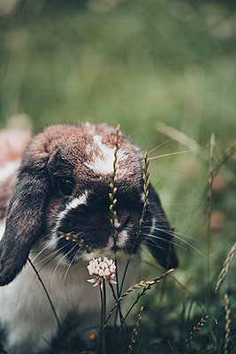 Lop eared cute brown bunny - p1628m2196228 by Lorraine Fitch