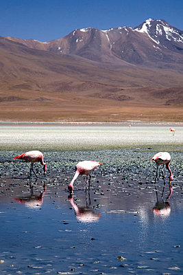 Drei Flamingos an einem Bergsee - p619m658603 von Samira Schulz