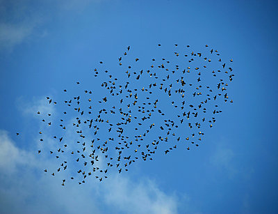 Flock of starlings - p1016m2193382 by Jochen Knobloch