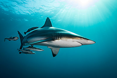Oceanic Blacktip Shark (Carcharhinus Limbatus) swimming near surface of ocean, Aliwal Shoal, South Africa - p429m1180979 by Steve Woods Photography