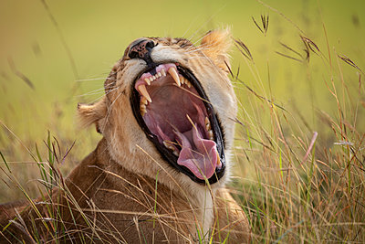 Lioness (Panthera leo) lying in long grass yawns widely, Maasai Mara National Reserve; Kenya - p442m2039372 by Nick Dale