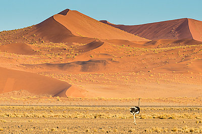 Ostrich wandering in front of a giant sand dune, Sossusvlei, Namib-Naukluft National Park, Namibia, Africa - p871m1478787 by Michael Runkel