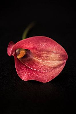 Calla lilly - p971m1039146 by Reilika Landen