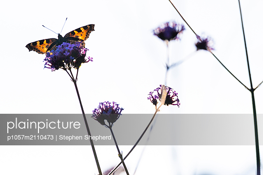 A colourful butterfly sitting and feeding on a purple Verbena flower head set against a bright white sky. - p1057m2110473 by Stephen Shepherd