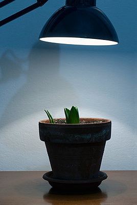 Desk lamp shining on pot plant - p5640201 by Dona