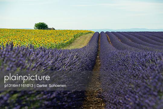 Lavendelfeld und Sonnenblumen, bei Valensole, Plateau de Valensole, Alpes-de-Haute-Provence, Provence, Frankreich - p1316m1161013 von Daniel Schoenen