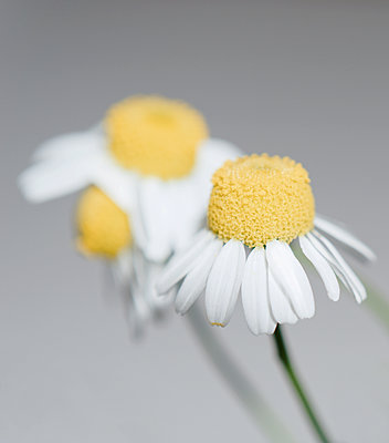 Zarte Blüten - p1578m2164595 von Marcus Hammerschmitt