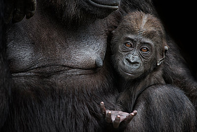 Portrait of gorilla baby close to mother - p300m2029966 by Mark Johnson