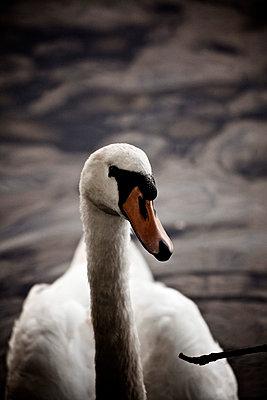 White swan - p586m788301 by Kniel Synnatzschke
