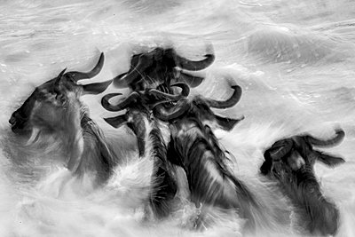 Wildebeest migration crossing the Mara River in Serengeti National Park, Tanzania, Africa, black and white - p651m2271105 by Paul Joynson Hicks photography