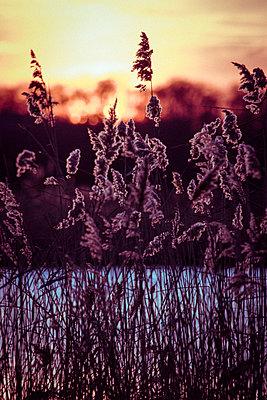 Sonnenuntergang mit Schilf - p1199m1538844 von Claudia Jestremski