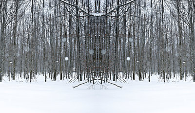 Straight, bare birch trees in a snowy landscape with snow falling. Mirror image with branches in the centre reminiscent of antlers. - p1433m2151383 by Wolf Kettler