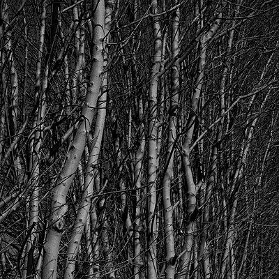 Tuebingen, Eine Hecke aus jungen Baeumen - p627m1035816 von Marcus Hammerschmitt