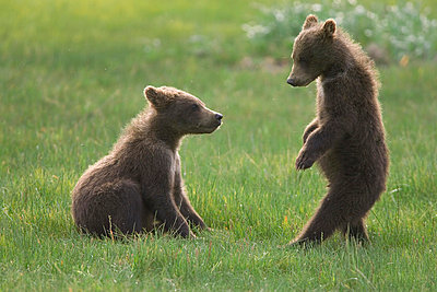 Grizzly Bear two yearling cubs play-fighting - p8844459 by Matthias Breiter