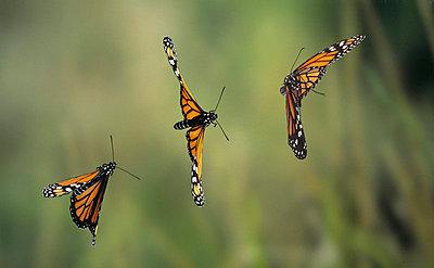 Monarch butterfly flying - p8845123 by Stephen Dalton
