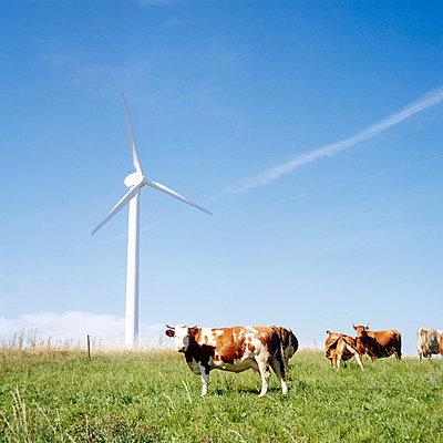Kühe und Windrad - p3290022 von Alexandra Lechner