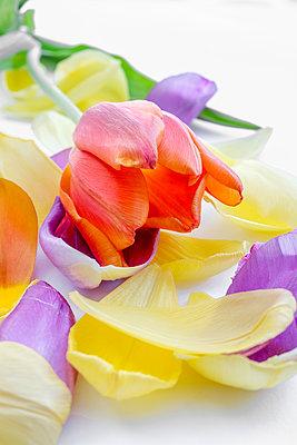 Tulip petals - p1228m1209115 by Benjamin Harte