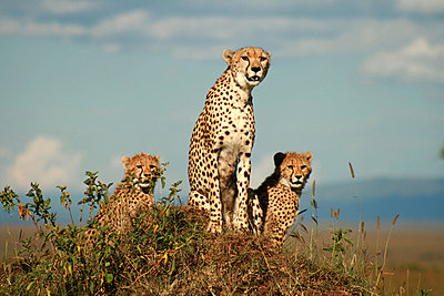 Cheetahs - p5330007 by Böhm Monika
