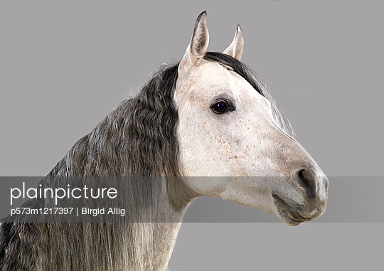 Pferdeportrait - p573m1217397 von Birgid Allig