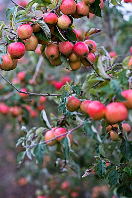 Apple trees in an organic orchard garden in autumn, red fruits ready for picking on branches of espaliered fruit trees.  - p1100m2085059 by Mint Images