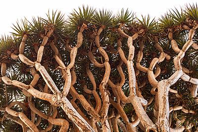 Dragon Tree - p1291m1465787 by Marcus Bastel