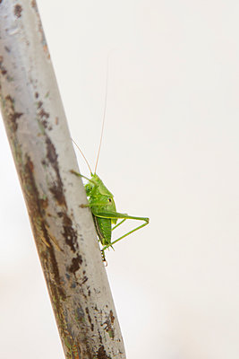 Side view of green cricket on a stem - p429m954538f by Stefanie Grewel