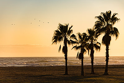Spain, Palms on the Beach - p280m2253486 by victor s. brigola