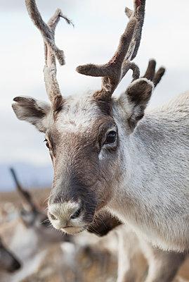 Sweden, Lapland, Levas, Portrait of reindeer (Rangifer tarandus) in wild - p352m1126555f by Helena Bonnevier