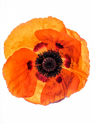 Poppy - p401m1048297 by Frank Baquet