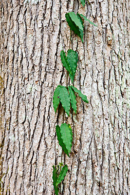 Green leaves against bark - p575m841419f by Sven Halling