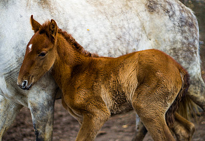 baby horse protecting himself with his mother - p1166m2157385 by Cavan Images