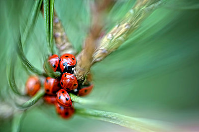 Seven-spotted ladybirds, Coccinella septempunctata, on a twig - p300m978847f by Mark Johnson