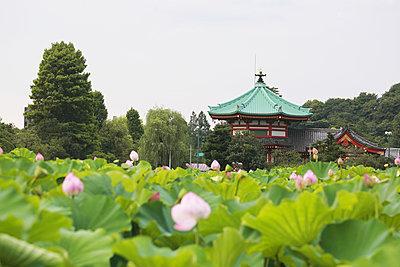 Lotus at Ueno Park, Tokyo, Japan - p307m1006678f by Rodrigo Reyes Marin